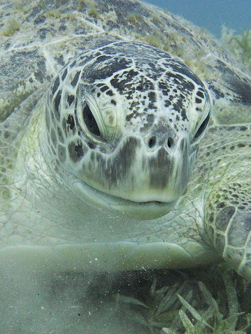 Green_sea_turtle_portrait